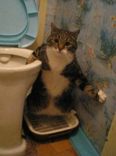 cat picking in a toilet
