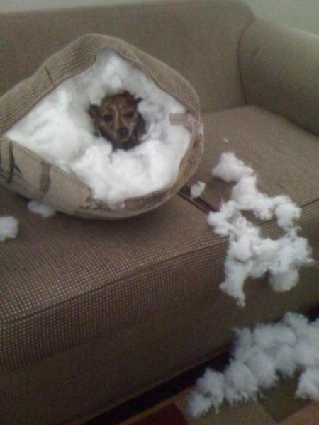 dog tearing apart a pillow