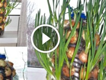 how-to-grow-onions-on-your-windowsill
