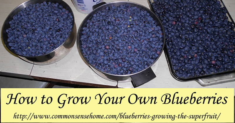 growblueberries